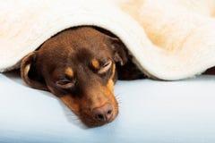在家睡觉在床上的混杂的狗 免版税库存照片