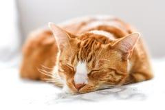 在家睡觉在长沙发的姜猫,一只美丽的家猫 库存照片
