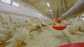 在家禽场的哺养的鸭子 影视素材