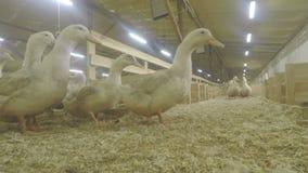 在家禽场的成人鸭子 股票视频