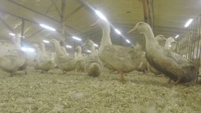 在家禽场的滑稽的鸭子 影视素材
