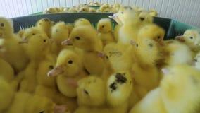 在家禽场的逗人喜爱的小的鸭子 股票视频