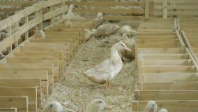 在家禽场的鸭子 股票录像