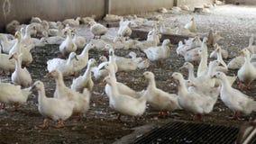 在家禽场的鸭子 影视素材