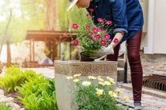 在家种植花的妇女在罐庭院里 免版税库存图片