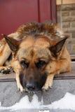 在家等待哀伤的德国牧羊犬 免版税图库摄影