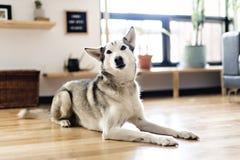 在家说谎在地板上的西伯利亚爱斯基摩人 与狗的生活方式 免版税图库摄影