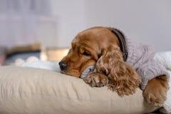 在家说谎在枕头的被编织的毛线衣的逗人喜爱的猎犬狗 免版税库存照片