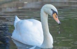在家长式池塘的天鹅 库存照片