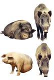 在家养的猪和野公猪之间的区别 免版税库存照片