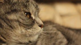 在家说谎在地板上的猫 配置文件 免版税库存照片