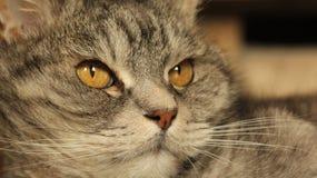 在家说谎在地板3上的猫 库存图片