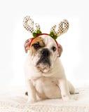 在家说谎在床上的幼小矮小的法国牛头犬崽与圣诞节驯鹿垫铁帽子 免版税库存照片