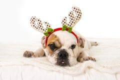 在家说谎在床上的幼小矮小的法国牛头犬崽与圣诞节驯鹿垫铁帽子 库存图片