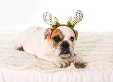 在家说谎在床上的幼小矮小的法国牛头犬崽狗与圣诞节驯鹿垫铁帽子 库存图片