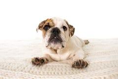 在家说谎在床上的幼小矮小的法国牛头犬崽狗看好奇照相机 免版税库存图片