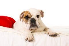 在家说谎在床上的幼小矮小的法国牛头犬崽看好奇照相机 库存图片