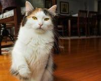 在家pawing殷勤幼小的猫  库存图片