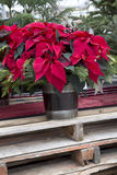 在容器的圣诞节一品红 免版税库存图片
