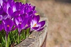 在容器的春天紫色番红花花开花 库存照片