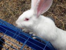 在容器的白色兔子用饲料 库存图片