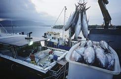 在容器的金枪鱼在渔船黎明石标澳大利亚 免版税库存图片