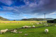 在宽山横向的农厂绵羊 免版税库存图片