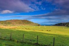 在宽山横向的绵羊 图库摄影
