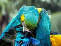 在密林栖息的金刚鹦鹉 库存照片