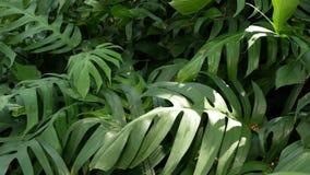 在密林森林赤道气候的明亮的水多的异乎寻常的热带绿色 与异常的植物叶子的背景 股票视频