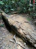 在密林迁徙的道路的大下落的树干 图库摄影