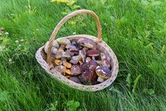 在密集的新近地被采摘的蘑菇一个大柳条筐,绿色,秋天草 免版税库存图片