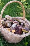 在密集的新近地被采摘的蘑菇一个大柳条筐,绿色,秋天草 免版税图库摄影