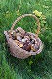 在密集的新近地被采摘的蘑菇一个大柳条筐,绿色,秋天草 库存图片