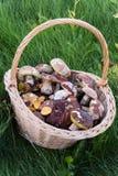 在密集的新近地被采摘的蘑菇一个大柳条筐,绿色,秋天草 图库摄影