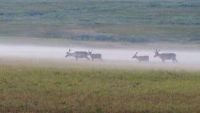 在密集的早晨雾拍摄的寒带草原鹿 图库摄影
