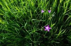 在富有的绿草的星小紫色桃红色花在大河旁边在一个美好的夏日晚上 免版税库存照片