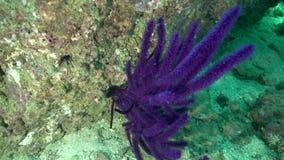 在富查伊拉阿拉伯联合酋长国阿曼海湾的紫罗兰色软的珊瑚 影视素材