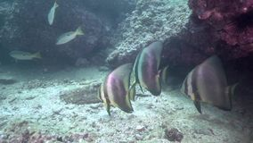 在富查伊拉阿拉伯联合酋长国阿曼海湾的鳍类的蝙蝠鱼Platax pinnatus 影视素材