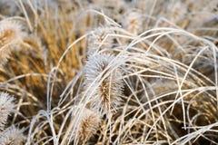 在寒冷冬天期间,结冰的狼尾草alopecuroides,fountaingrass 免版税库存图片
