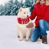 在寒冷冬天穿戴的红色围巾的美丽的白色萨莫耶特人狗 免版税库存照片