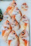 在寒冷变冷的新鲜的红色罗非鱼鱼冰和在一条直线的命令保持的 免版税库存图片