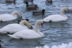在寒冷的疣鼻天鹅,斯诺伊蓝色河 免版税库存照片
