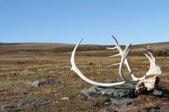 在寒带草原的北美驯鹿鹿角 库存图片