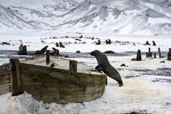 在对一艘木船的残骸的一头海狮 免版税库存照片