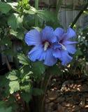 在对的露珠蓝色缎沙仑的玫瑰花 免版税库存照片