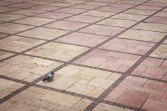 在对称地面的孤独的鸽子 图库摄影