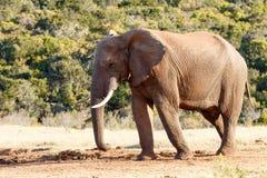 在对水坝-非洲人布什大象的途中 免版税图库摄影