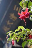 在寺庙前面的倒挂金钟 免版税库存图片