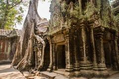 在寺庙墙壁上的树 prohm ta 安哥拉猫 免版税库存照片